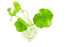 关闭在白色的绿色亚洲Pennywort 保存与裁减路线 免版税库存照片
