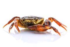 关闭在白色背景的淡水螃蟹 Ricefield螃蟹在泰国 免版税库存照片