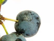 关闭在白色背景的黑刺李莓果与水露水drople 免版税图库摄影