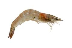关闭在白色背景隔绝的一只虾 裁减路线 免版税库存图片