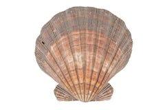 关闭在白色背景隔绝的海洋壳 图库摄影