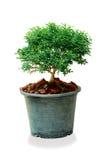 关闭在白色背景隔绝的花盆的一棵树 免版税库存照片