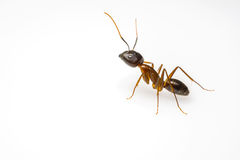 关闭在白色背景隔绝的蚂蚁 免版税库存图片