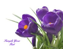 关闭在白色背景-新鲜的春天花的美丽的番红花 紫罗兰色番红花开花花束 库存照片