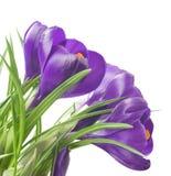 关闭在白色背景-新鲜的春天花的美丽的番红花 紫罗兰色番红花开花花束 免版税库存照片