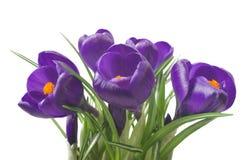关闭在白色背景-新鲜的春天花的美丽的番红花 紫罗兰色番红花开花花束 图库摄影
