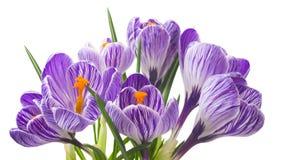 关闭在白色背景-新鲜的春天花的美丽的番红花 紫罗兰色番红花开花花束 库存图片
