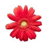 关闭在白色隔绝的一朵红色雏菊花 库存照片