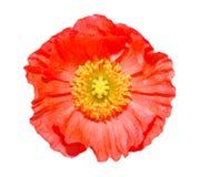 关闭在白色(科学名字罂粟属nudicaule)隔绝的一朵红色冰岛罂粟花 免版税库存图片