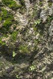 关闭在石表面背景的青苔纹理 库存图片