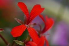 关闭在红色花的雄芯花蕊的宏观水滴 库存照片