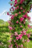 关闭在绽放的玫瑰色`多萝西珀金斯` 免版税图库摄影