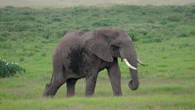 关闭在绿色平原的一成人狂放的非洲大象步行在大草原 股票录像