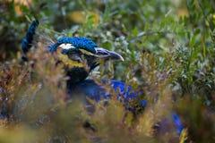 关闭在绿色灌木的孔雀,野生生物鸟 免版税库存照片
