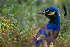 关闭在绿色灌木的孔雀,野生生物鸟 免版税库存图片