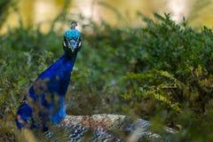 关闭在绿色灌木的孔雀,野生生物鸟 库存图片
