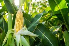 关闭在绿色领域的食物玉米 免版税库存照片