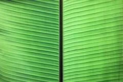 关闭在绿色香蕉叶子的静脉 免版税库存图片