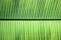 关闭在绿色香蕉叶子的静脉 免版税库存照片