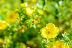 关闭在自然背景的黄色花 免版税库存图片