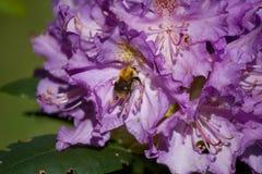 关闭在花的一只蜂 免版税图库摄影