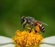 关闭在花的蜂 图库摄影