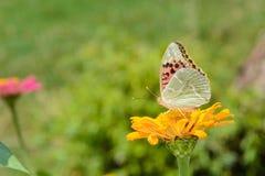 关闭在花的蝴蝶 免版税图库摄影