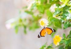 关闭在花的蝴蝶 库存图片