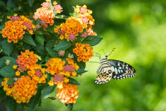 关闭在花的蝴蝶 库存照片