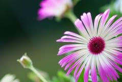 关闭在花草甸的雏菊花 免版税库存照片