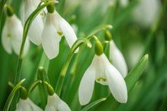 关闭在苏格兰木头的开放春天snowdrops 库存图片