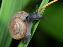 关闭在草叶的蜗牛 免版税库存图片