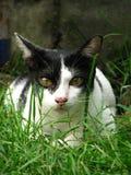 关闭在草地的英俊的泰国黑白色猫  图库摄影