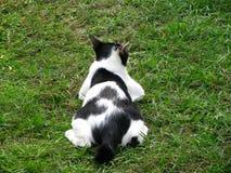 关闭在草地的英俊的泰国黑白色猫  免版税库存照片