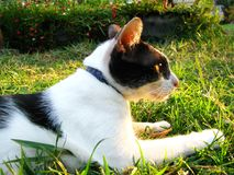 关闭在草地的英俊的泰国黑白色猫  免版税图库摄影