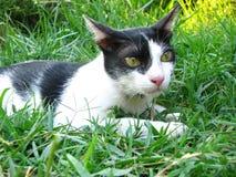 关闭在草地的英俊的泰国黑白色猫  免版税库存图片