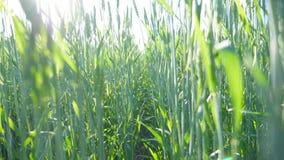 关闭在草甸的谷物茎在蓝天下 摇摆在风的麦子的绿色小尖峰在领域 阳光 股票录像