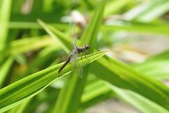 关闭在草的一只蜻蜓 图库摄影