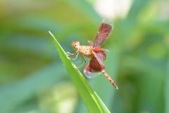 关闭在草的一只蜻蜓 库存照片
