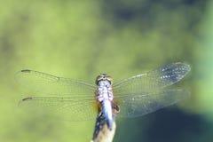 关闭在莲花分支的一只蜻蜓 免版税库存照片