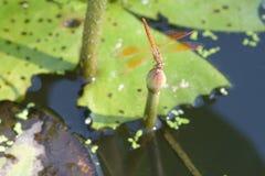 关闭在莲花的一只蜻蜓 免版税库存照片