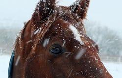关闭在落的雪的一匹栗子褐色马 库存照片