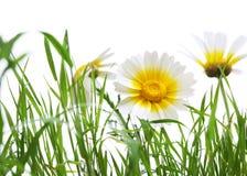 关闭在被隔绝的草地的一朵雏菊 免版税库存照片