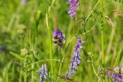 关闭在野豌豆cracca花的土蜂 免版税库存图片