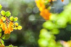 关闭在阳光点燃的树之间的蜘蛛网 有选择性的focu 免版税库存图片