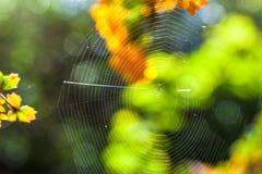 关闭在阳光点燃的树之间的蜘蛛网 有选择性的focu 免版税库存照片