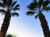 关闭在阴影熔铸的两棵棕榈树,他们为天空到达在一个美好的晚上在棕榈沙漠,加利福尼亚 免版税库存图片