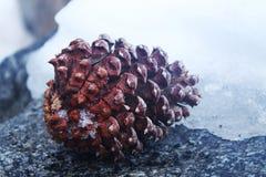 在雪的杉木锥体 图库摄影