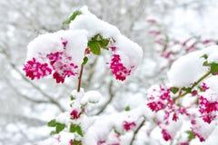关闭在雪盖的红开花的无核小葡萄干开花 图库摄影