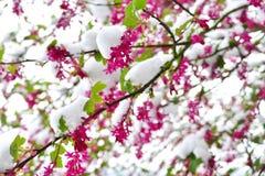 关闭在雪盖的红开花的无核小葡萄干开花 库存图片